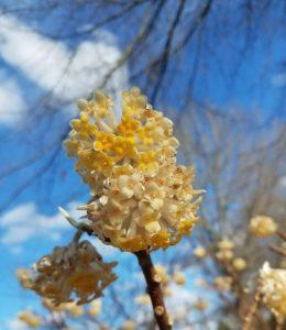 Deciduous flowering shrub