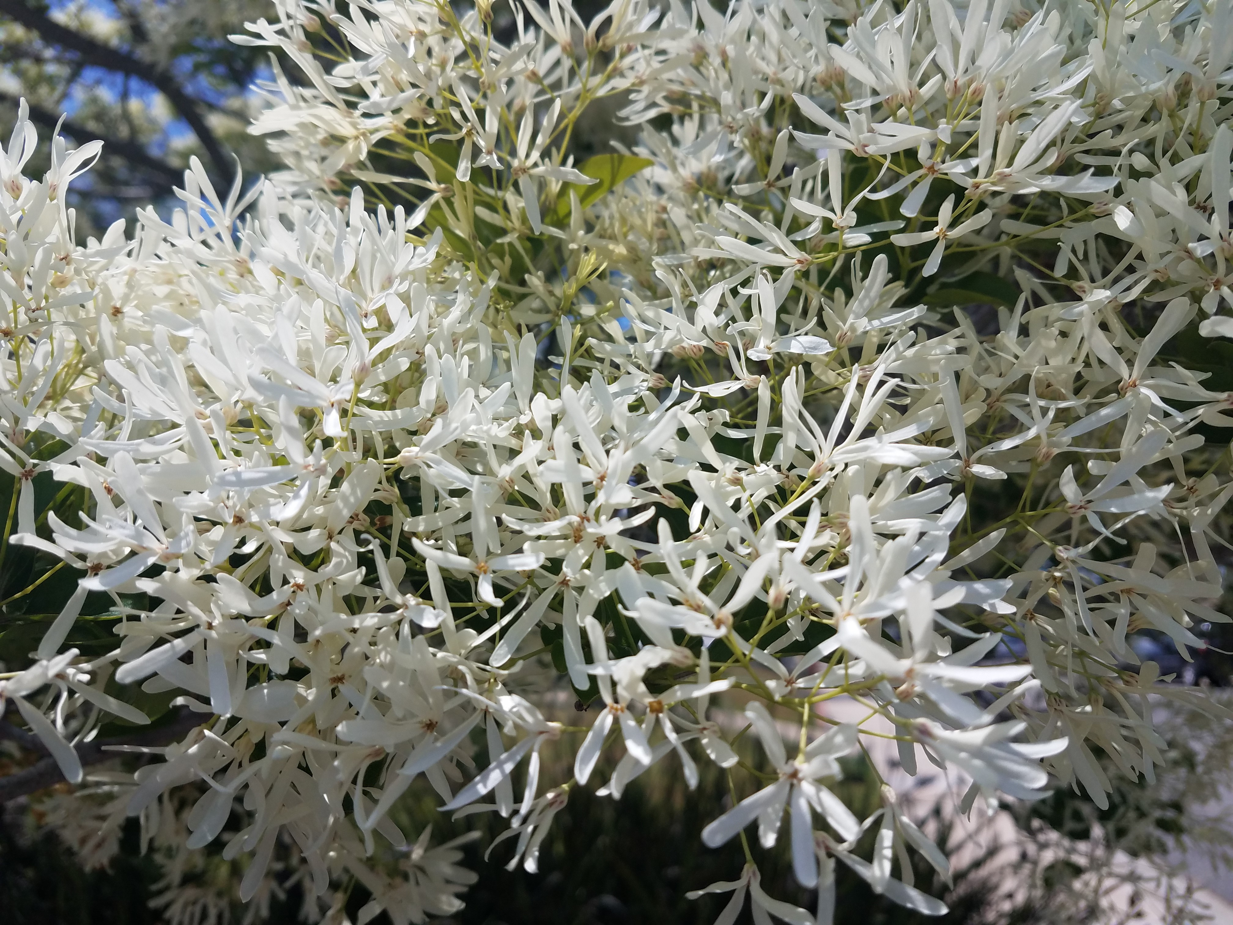 Chinese fringe tree flowers