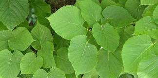 lime_flowers_tilia_europea