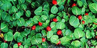 Partridge_berry,Mitchella_repens-fruits