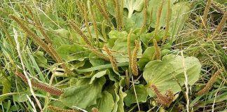 plantain,Plantago_major