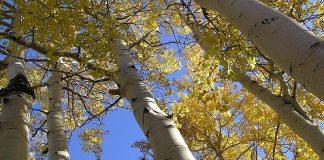 White_poplar,popular_tremuloides