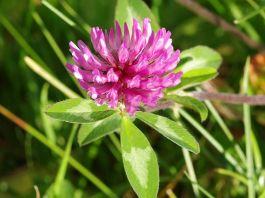 Red_Clover,Trifolium_pratense