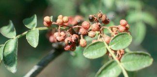 prickly_ash,Zanthoxylum_americanum