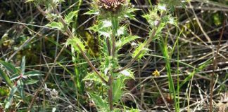 carline_thistle,carlina_vulgaris