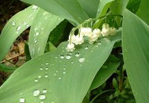 lily_of_the _valley