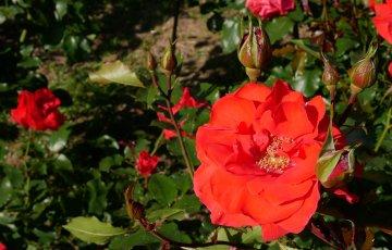 朱色のバラ【アホイ】京都府立植物園