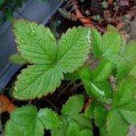 ワイルドストロベリーの葉の縁が赤い