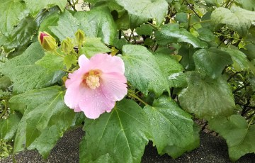 芙蓉(フヨウ)の花