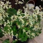 ダイモンジソウの開花