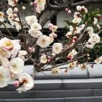 京都・随心院の梅