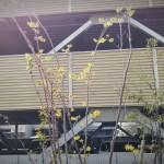 マンサクの黄色い花