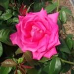 ローズピンクが美しい【マリア カラス】@中之島バラ園