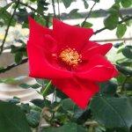 あまりにも赤いバラ【アルティッシモ】