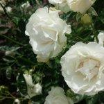 つるバラからの枝変わり【サマースノー】