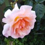 思いやりのバラ【コンパッション】大阪梅田 ルクアにて☺️イイネ