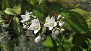 卯の花【マルバウツギ】5月の開花