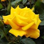 バラ【ゴールドマリー'84】京都府立植物園にて☺️イイネ