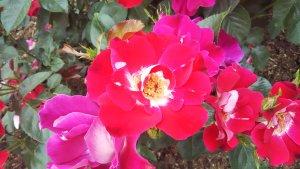 紅バラ【連弾】京都府立植物園 バラ園にて