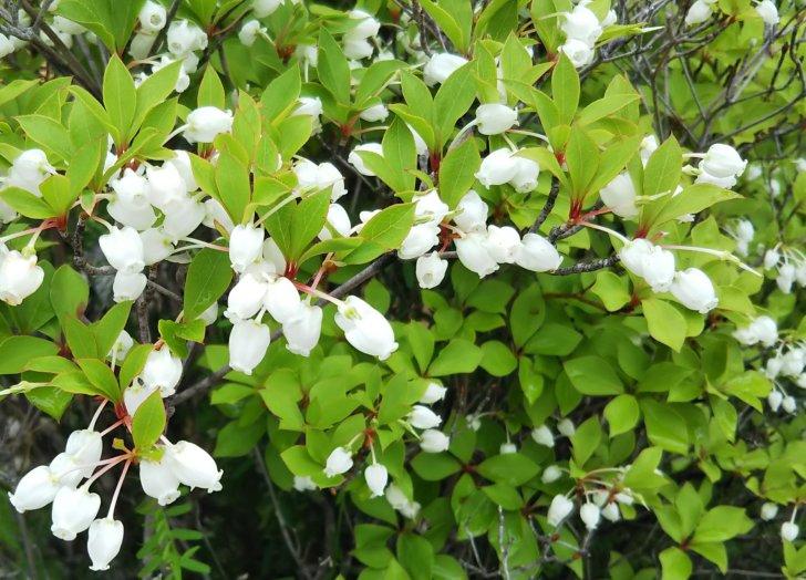 ドウダンツツジの白い小花。