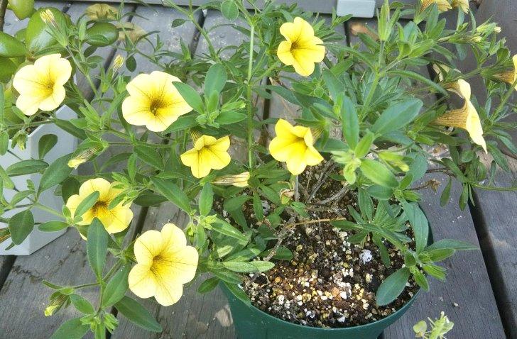 【カリブラコア】冬越しのあと5月の開花
