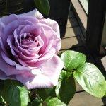 【ブルームーン】蕾で購入して3日後の開花。惚れた…