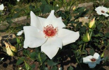 一重平咲きの美しい白バラ【ホワイト ウィングス】
