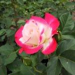 覆輪が美しい【デスティニー】京都府立植物園 バラ園にて☺️イイネ