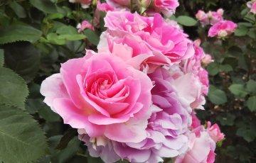 手間いらずのバラ【ケアフリーワンダー】京都府立植物園 バラ園にて☺️イイネ