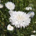 【ヤグルマギク】花の色は豊富