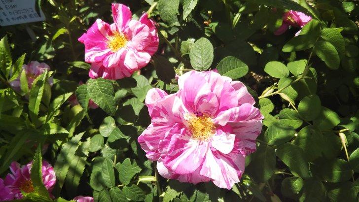 ロサムンディ(Rosa Mundi)