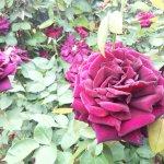 【オクラホマ】ベルベット質の花弁が醸し出す、ゴシックなムード。『黒バラ』と呼ばれる所以