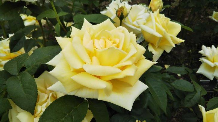 黄色の和バラといえば【天津乙女】