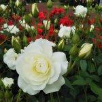 【アイスバーグ】後方の紅バラとのコントラストが美しい