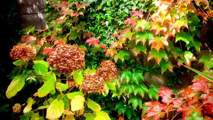 10月下旬の【アナベル】ナツヅタの紅葉と混ざりより一層美しい