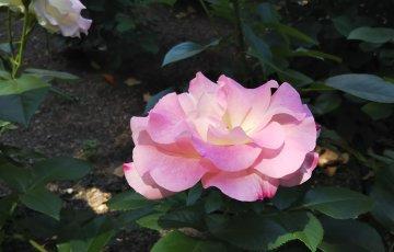 花が開くと、フリル咲きでエレガントな佇まい