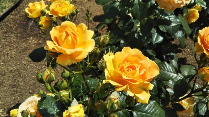 ドイツのバラ【ゴルデルゼ】中之島公園 バラ園にて☺️イイネ