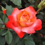 バラ【フリュイテ】京都府立植物園 バラ園にて☺️イイネ