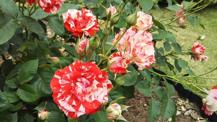 絞りがハッキリして美しい【オレンジスプラッシュ】京都府立植物園バラ園にて☺️イイネ
