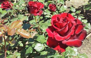 ゴージャスな紅バラ【フランソワーズ ゴジャール】