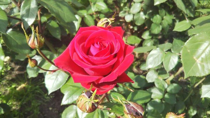 紅バラ【ロブ ロイ】中之島公園 バラ園にて☺️イイネ