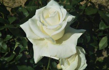 白バラ【オーナー】中之島公園 バラ園にて☺️イイネ