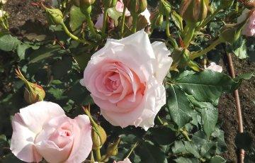 《可憐な花嫁》ブライダル ピンク@中之島公園 バラ園