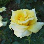 花びらの縁から白色を帯びてゆく【サンフレーア】