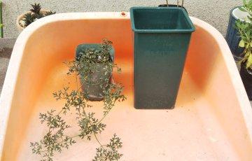 クレマチス【ペトリエイ】のポッド苗の植え替え
