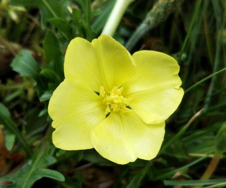 コマツヨイグサは夕方開花、翌日にはしおれて赤くなる。