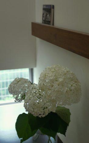 アジサイ【アナベル】の1番花