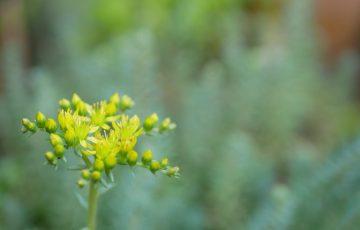 セダム・レフレクサム 黄色い小花がカワイイ