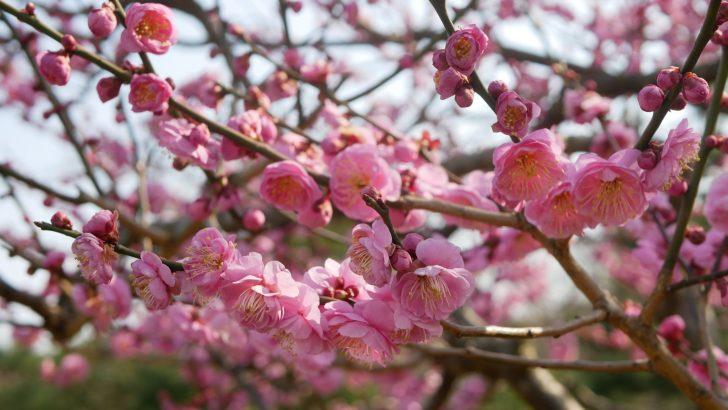 梅の花【八重寒紅】