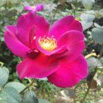 紅バラ【ニュース】